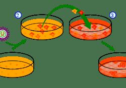 celulas corneales